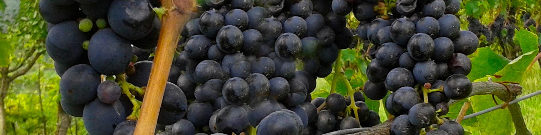 vino Dionisio azienda agricola la meridiana vini neri