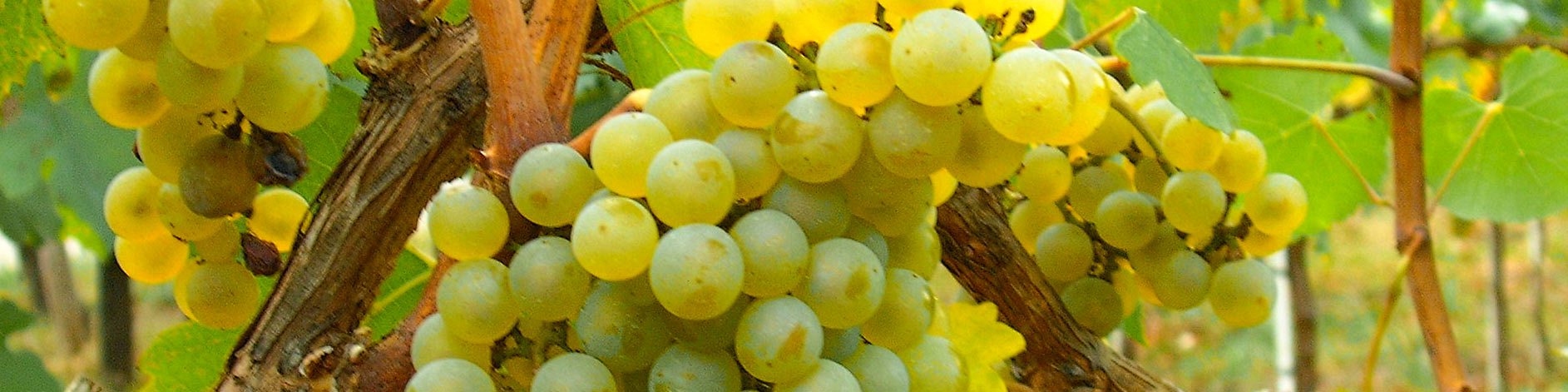 Garda Chardonnay d.o.c. La  Meridiana azienda  agricola